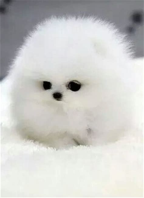 puffball puppy puffball puppies related keywords suggestions puffball puppies keywords