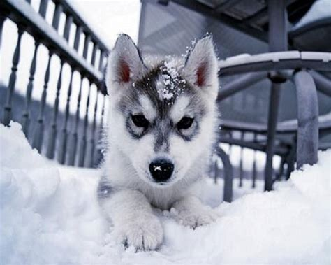 snow husky puppy husky pup in snow husky wallpaper