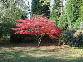 panoramio photo of red acer tree 25th oct 2011