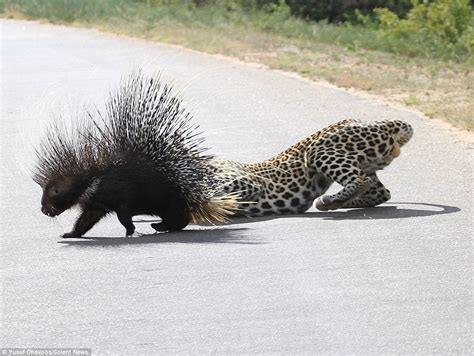 attacked by porcupine porcupine attack www pixshark images galleries with a bite