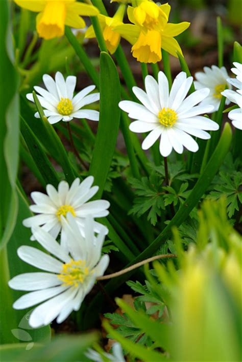 anemone blanda planting buy wood anemone bulbs anemone blanda white splendour
