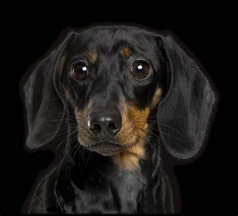 black dachshund puppies all black dachshund dogs www imgkid the image kid has it