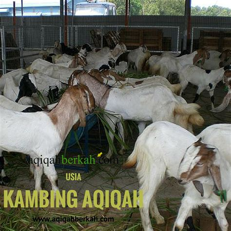 Bibit Kambing Di Malang harga kambing di malang
