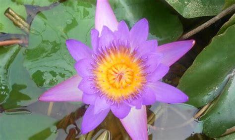fiore di ninfea significato significato della ninfea nel linguaggio dei fiori