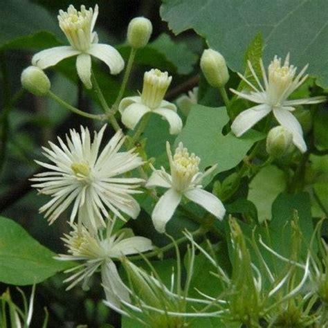 clematis fiore di bach la floriterapia di bach clematis la biolca