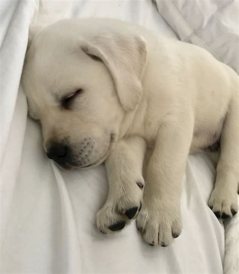 lab retriever puppies best 25 labrador retriever ideas on black