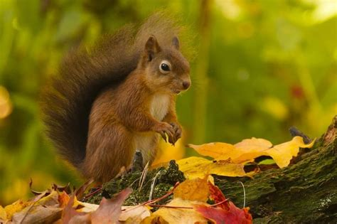 red squirrel with autumn colours by david barnes on 500px animals red squirrel