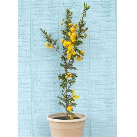 Tanaman Hias Kuning jual tanaman hias akasia kuning hp 085608566034