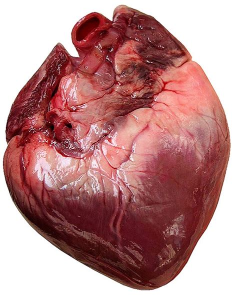 imagenes reales corazon humano importancia del coraz 243 n