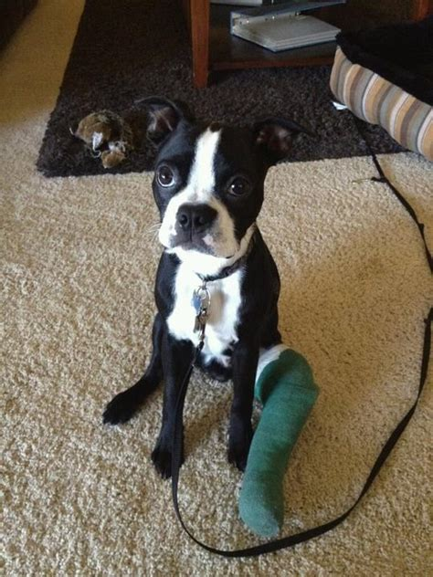 puppy broken leg broken leg dogs