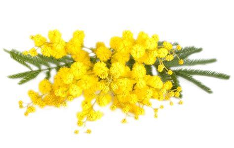 mimosa fiore 8 marzo festa della donna jamhes2015 s