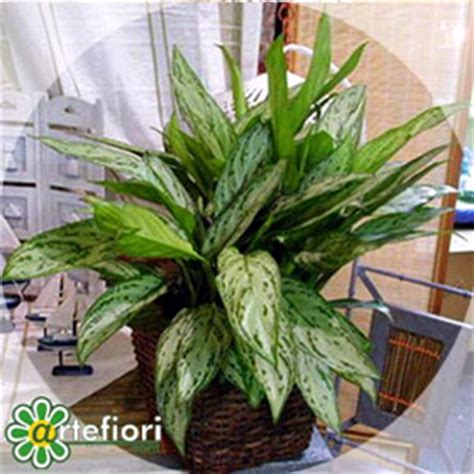 piante appartamento buio artefiori aglaonema