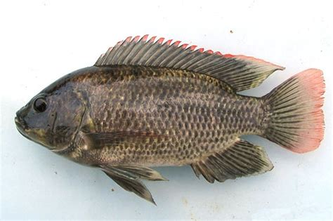 Bibit Ikan Mujair ikan mujair adearisandi s