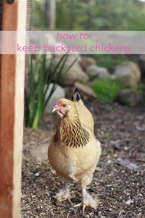 Backyard Hens by All About Raising Chickens And Eggs Mummy Kitchen