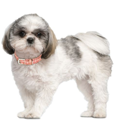 shih tzu puppies rescue nc shih tzu puppies for sale in nc breeds picture