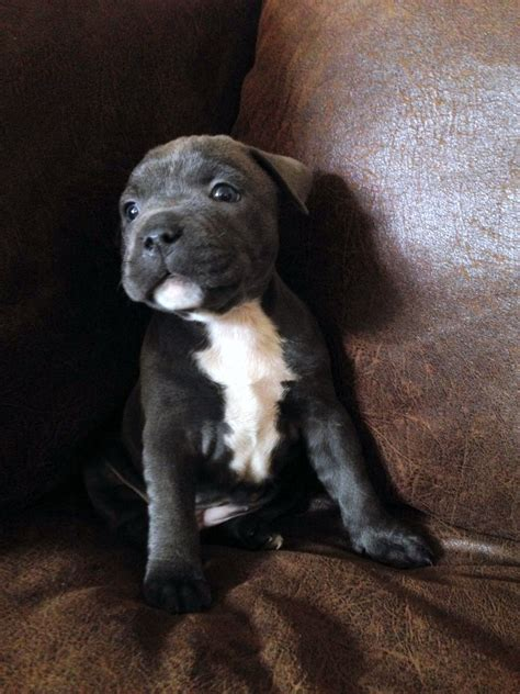 bull terrier puppies for sale in blue staffordshire bull terrier puppies for sale tmpphpp64mirjpg breeds picture