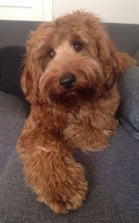 goldendoodle puppy faq 17 best ideas about labradoodles on australian