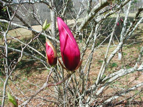 unathis hairstyles magnolia denudata wikipedia the free encyclopedia