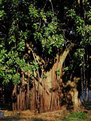 rubber tree plants lovetoknow