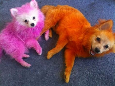 jeffree dogs 17 best images about fabulous dogs on white pomeranian puppys and