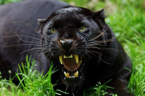 150 black panthers on loose in britain daily star