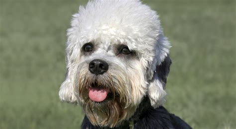 puppy dandie dinmont terrier puppy for your birthday dandie dinmont terrier dog breed information american