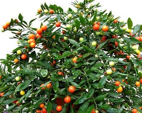 Come Si Chiama Un Terrazzo Con Fiori E Piante by Il Solanum Colore D Inverno E Ricante Per Balconi
