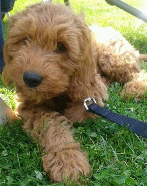 goldendoodle puppy names 1000 images about danes doodles on f1b