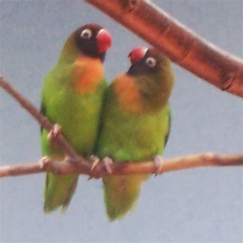 Lilian Hitam mengenal lovebird dan jenis jenisnya burung gue