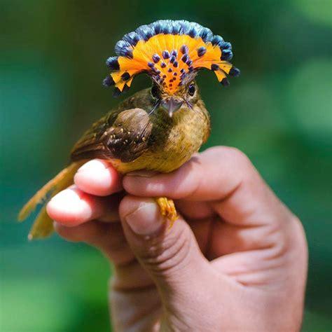 royal flycatcher pics