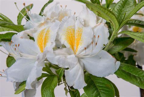 rhododendron winterfest machen garten rhododendron persil rhododendron luteum persil g 252 nstig