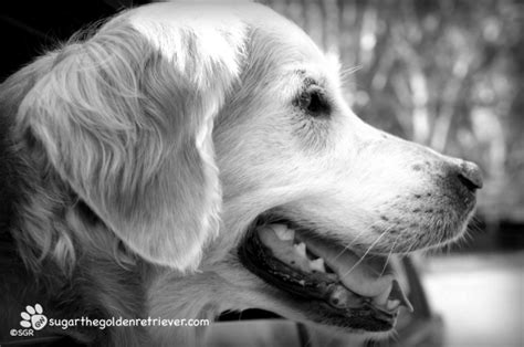 black and white golden retriever pictures black and white golden retriever photos breeds picture