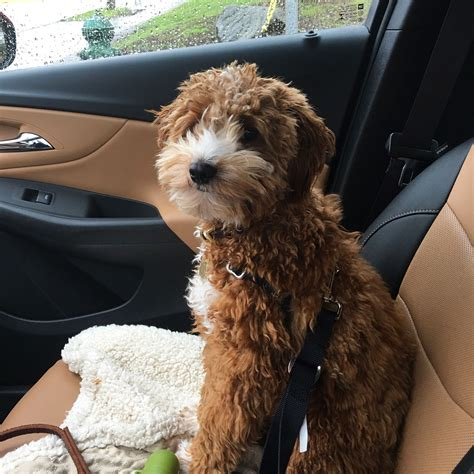 mini labradoodles seattle seattle labradoodle goldendoodle puppies available