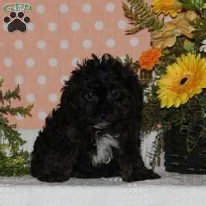 yorkie poo maryland yorkie poo puppies for sale in de md ny nj philly dc and baltimore