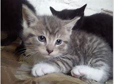 cross bengal adorable kitten for sale | Chester, Cheshire ... Kittens For Sale