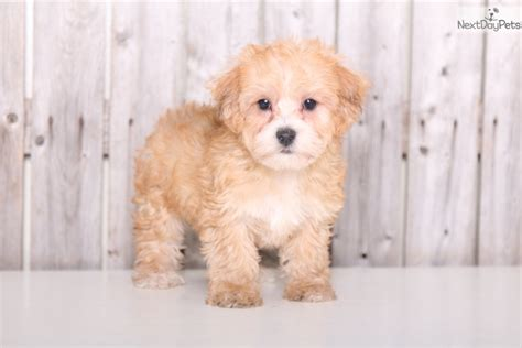 brown yorkie poo winston yorkie poo brown terrier for sale in columbus oh