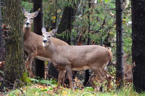 Du Deer Fit L 171 si je vous enlevais votre habitat et votre nourriture comme le cerf de virginie 187