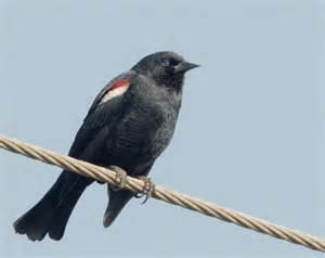 tri colored blackbird tricoloredblackbirdp