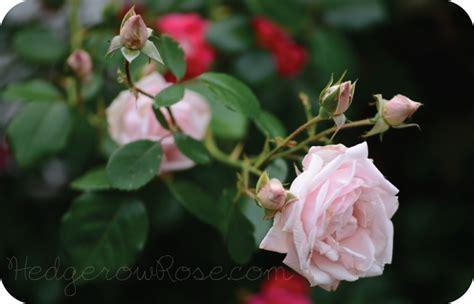 Garden Trellis Images Growing New Dawn Climbing Rose