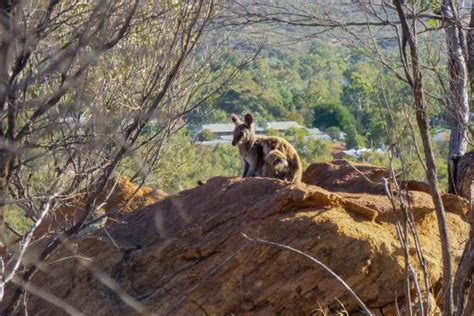 Olive Pink Botanic Garden Black Footed Wallaby Sunning It Self Foto Di Olive Pink Botanic Garden Springs