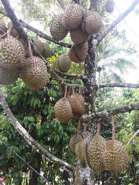 promo hpwa    jual bibit durian bawor