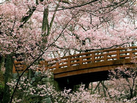 japanese blossom tree 1000 images about cherry blossoms for my mai on pinterest