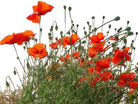 1040 best images about gentil coquelicot on
