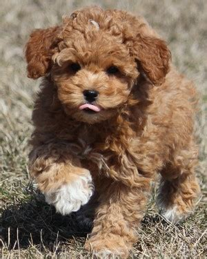 lifespan of mini poodle miniature poodle history personality appearance health