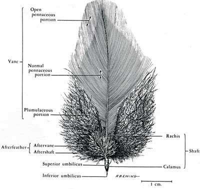 feather diagram the bowes museum s collections of decorative
