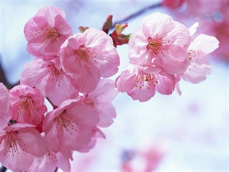 wallpaper flower japan pink cherry blossom wallpaper 22 wallcoo net
