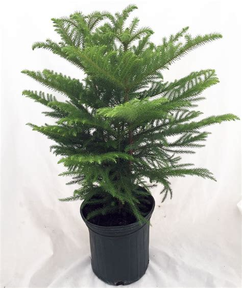 17 best images about norfolk island pine on pinterest