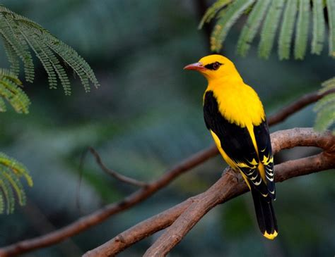 beautiful indian golden oriole bird pics background hd