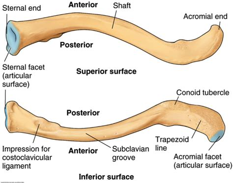 diagram of the clavicle clavicle pictures to pin on thepinsta