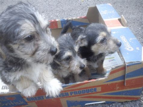 golden yorkie poo puppies for sale yorkie poo puppies for sale uk teacup picture breeds picture